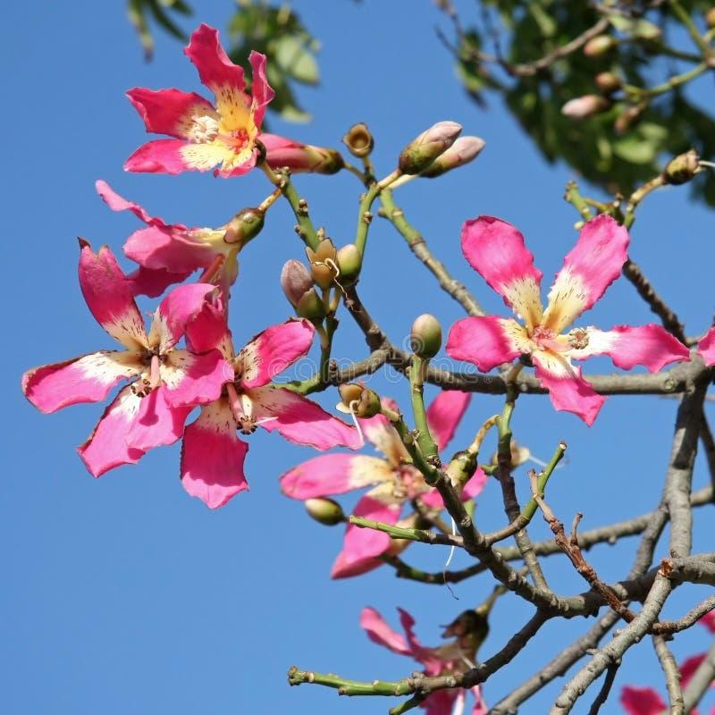 Flowers of the Silk Floss Tree, Chorisia Speciosa.