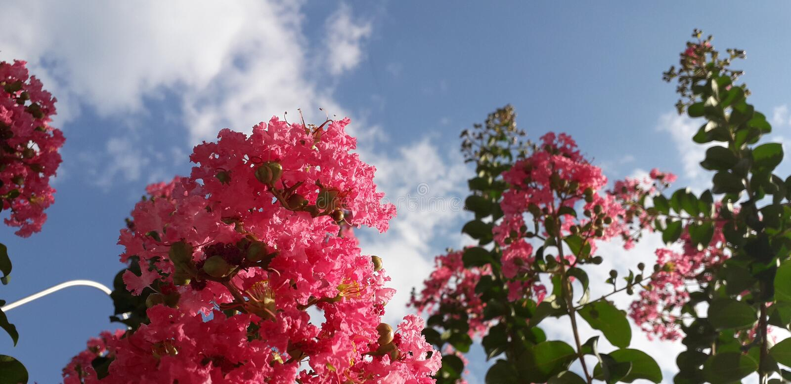 Crape Myrtle flowers and sky. Clouds, skyandflowers, skycloud, green, purple, red royalty free stock photos