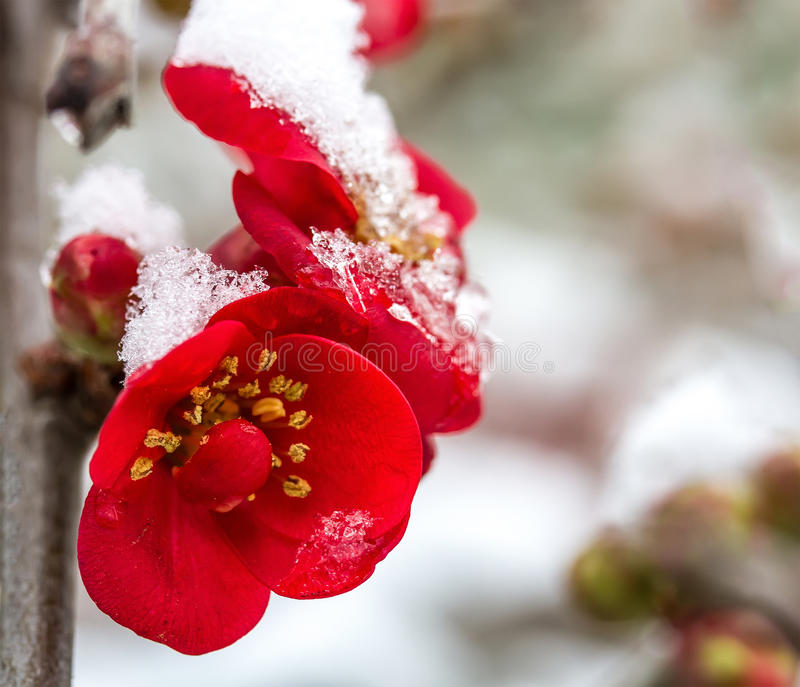 Flowers in the snow royalty free stock image