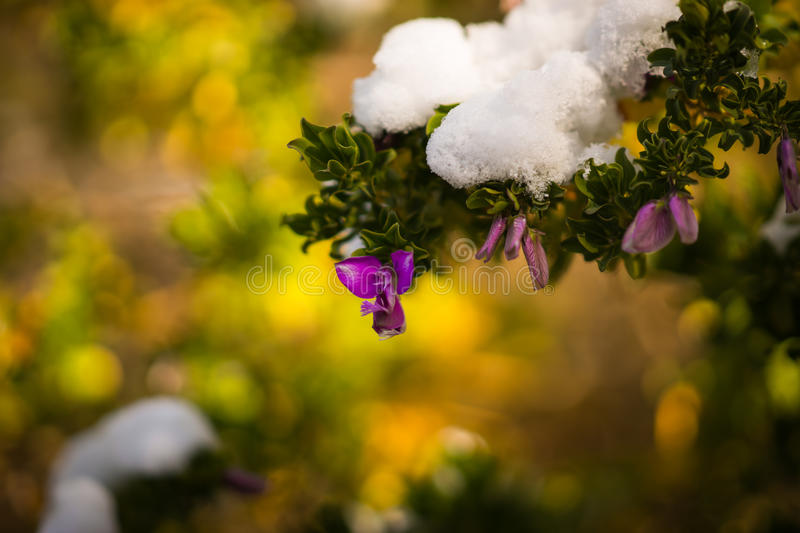 Flowers in snow - Snow in Athens - rare and unique event stock photos