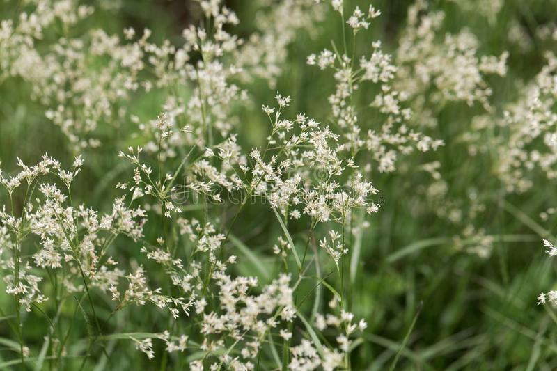 Flowers of snow-white wood-rush plants, Luzula nivea. Flowers of  wild snow-white wood-rush plants, Luzula nivea royalty free stock photography