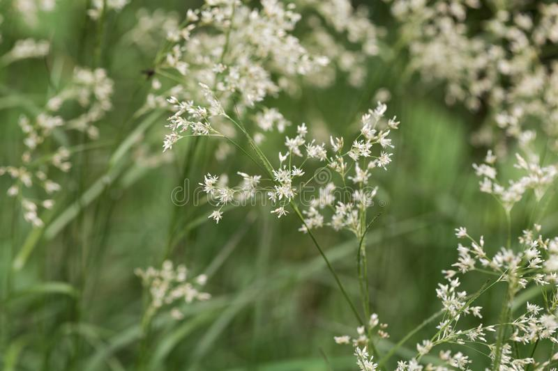 Flowers of snow-white wood-rush plants, Luzula nivea. Flowers of  wild snow-white wood-rush plants, Luzula nivea stock image