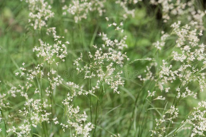 Flowers of snow-white wood-rush plants, Luzula nivea. Flowers of  wild snow-white wood-rush plants, Luzula nivea royalty free stock images