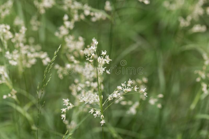 Flowers of snow-white wood-rush plants, Luzula nivea. Flowers of  wild snow-white wood-rush plants, Luzula nivea stock photography