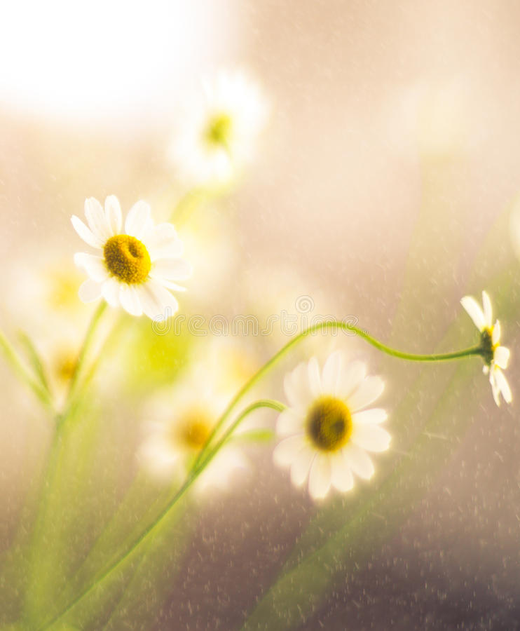 Flowers soft beauty. Fresh camomile flowers in rain, soft color beauty
