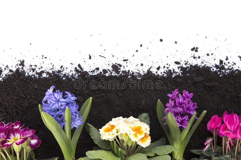 Flowers and soil. Spring flowers and soil isolated on white background stock photo