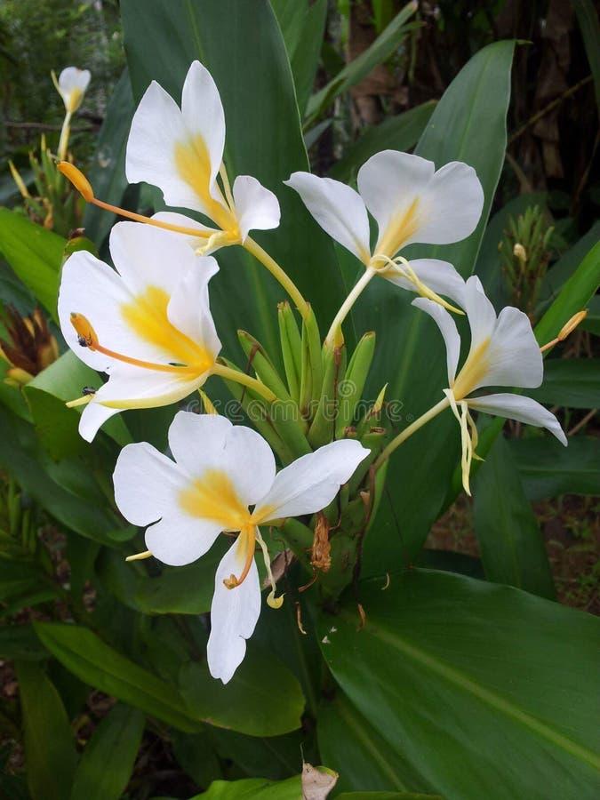 Flowers of sontaka royalty free stock image