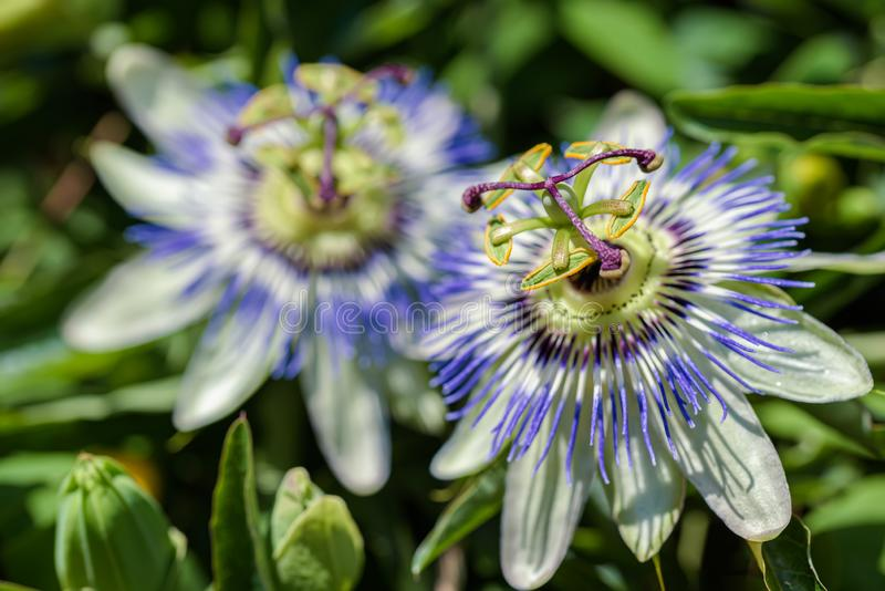 Flowers of the southern plant passionflower close up royalty free stock photos