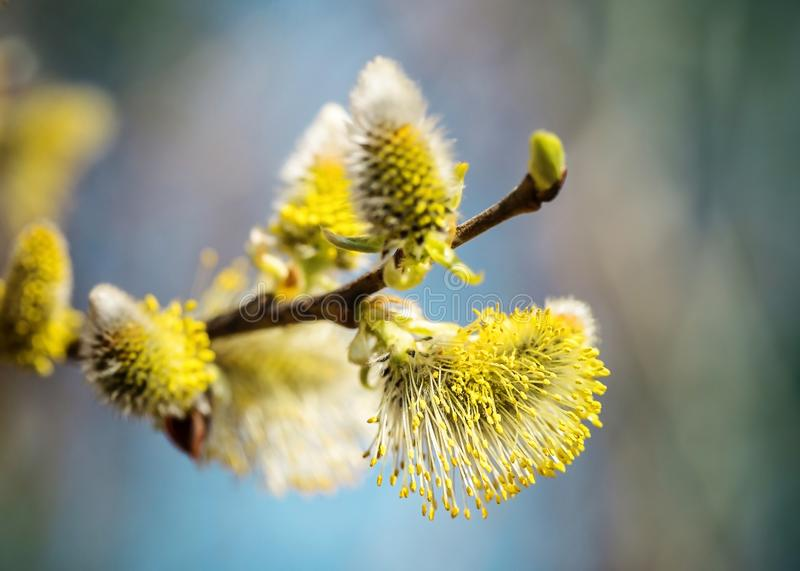 Picture with alder. Flowers of spring alder on a sunny day stock photos