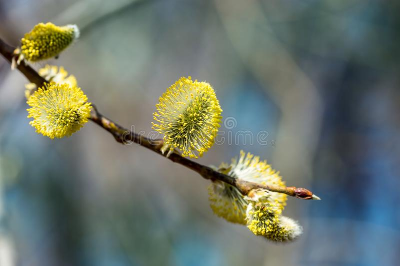 Picture with alder. Flowers of spring alder on a sunny day royalty free stock photos