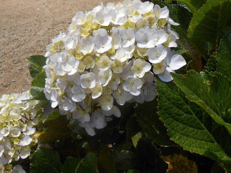 Flowers in Sri Lanka royalty free stock photo