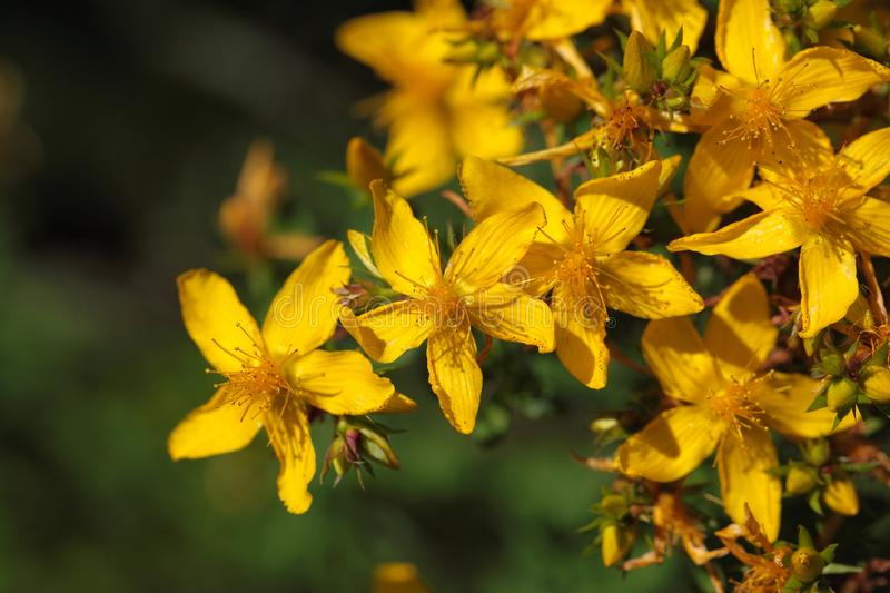Flowers of St Johns-wort. (Hypericum perforatum royalty free stock images