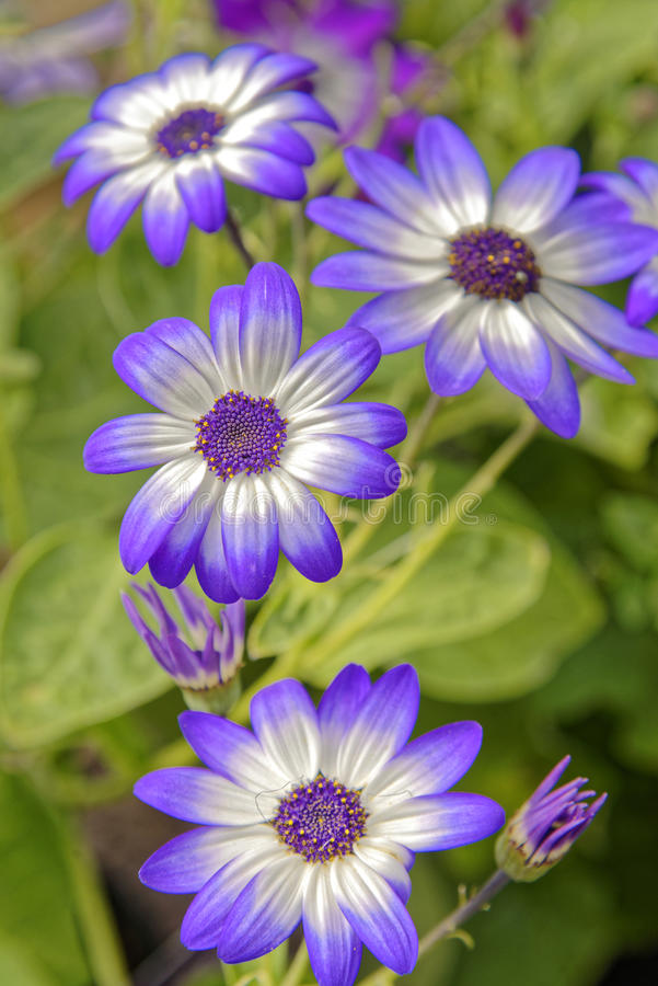 Flowers. Striking purple-tipped flowers with green background royalty free stock photography