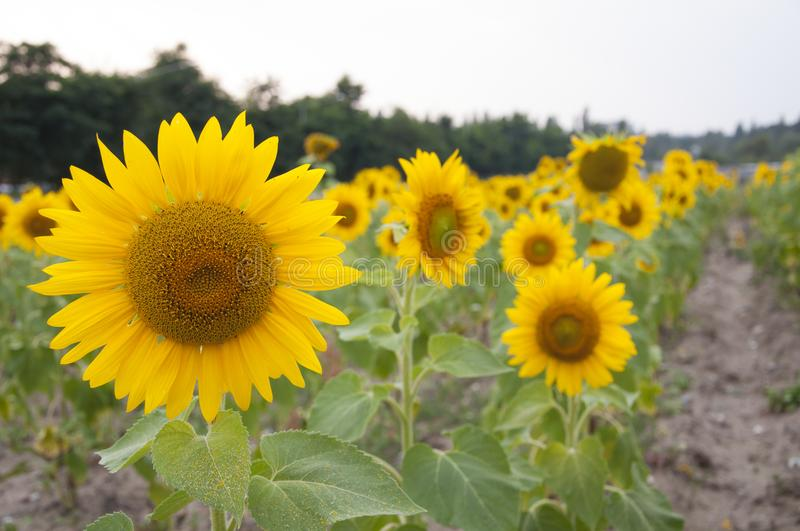 Flowers of a sunflower stock photography