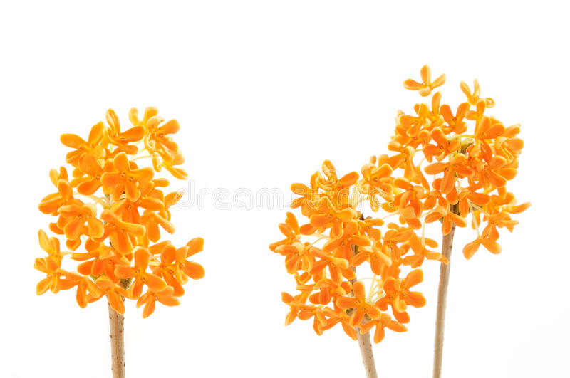 Flowers of sweet osmanthus royalty free stock photos