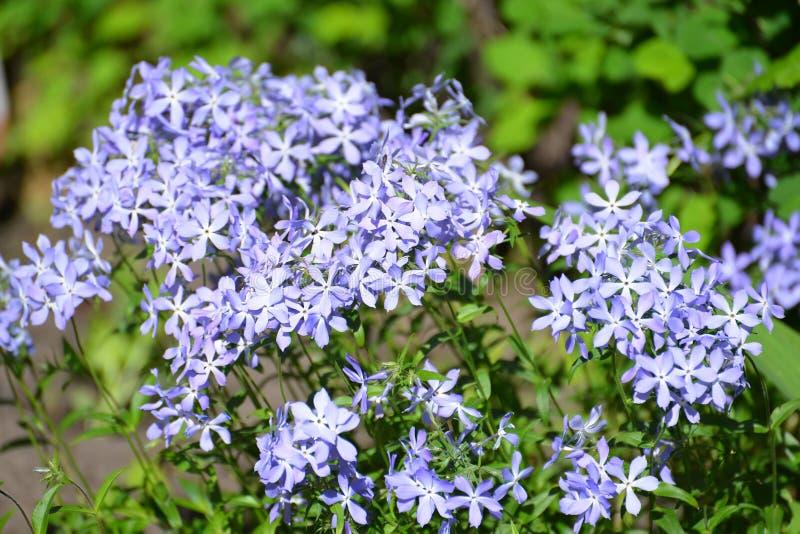 Flowers of the Sweet William phlox Phlox divaricata L.  stock image
