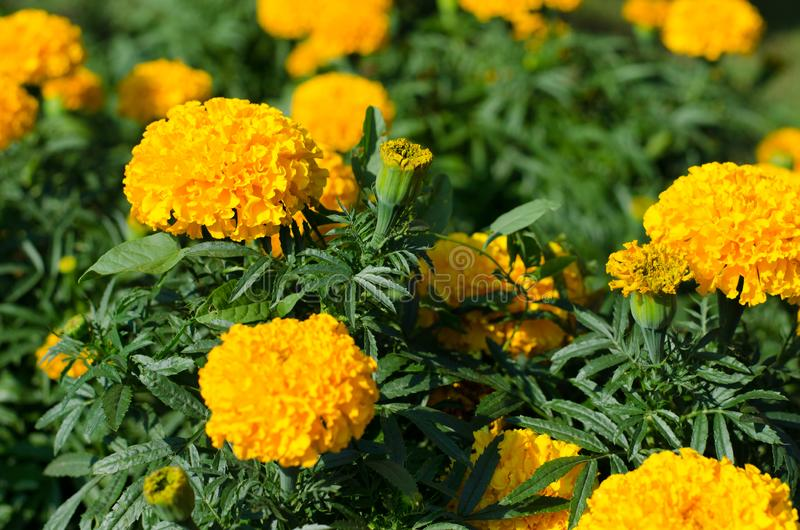 The flowers of Tagetes in the garden royalty free stock photography