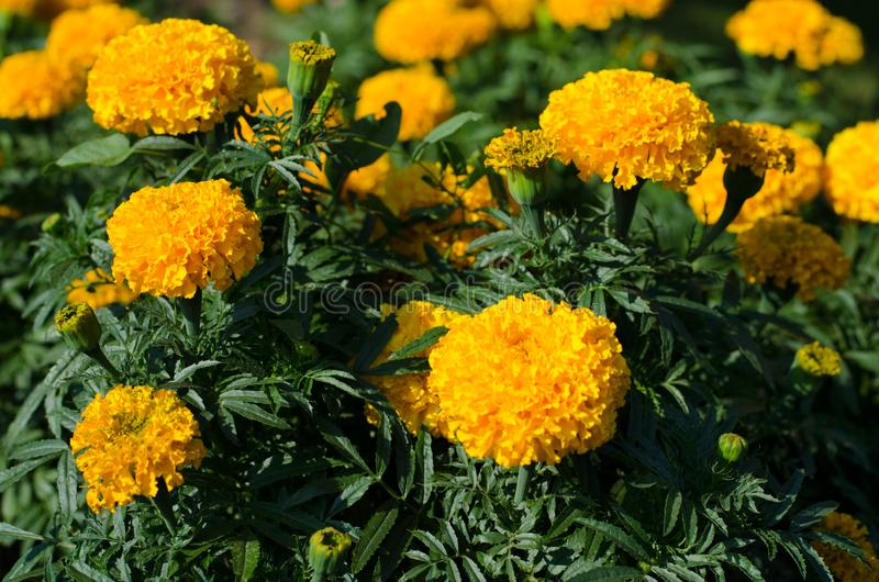 The flowers of Tagetes in the garden stock image