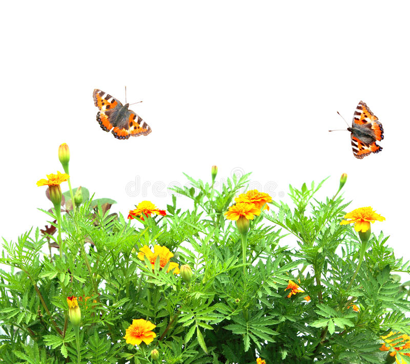 Free Flowers Tagetes Patula And Butterflys Royalty Free Stock Photos - 20830728