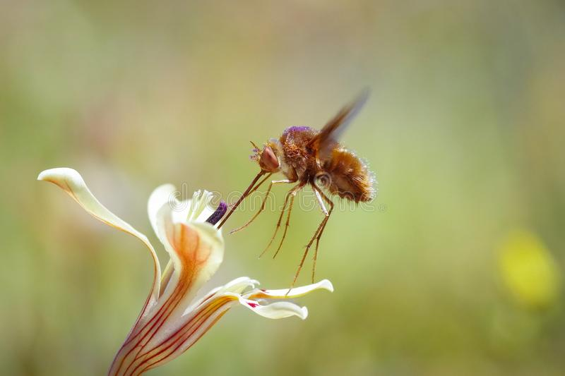 Adapted pollinator. Those flowers and their pollinators, like this Bombylid, have Co-evoluted so the depth of the nectar tube matches with the lenght of the stock image