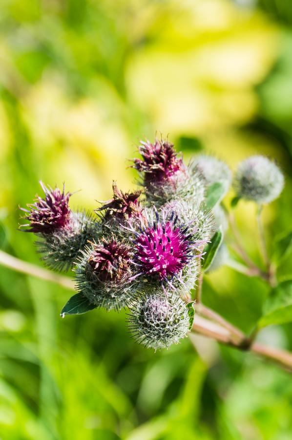 Flowers thistles against the background of grass stock photos