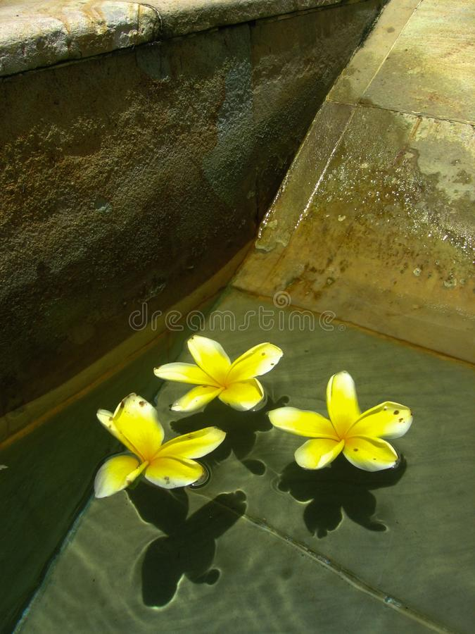 Flowers of Three Floating Peacefully. Three white and yellowed petaled flowers floating in formation in a pool creating shadows on the patterned cement tiles stock photo