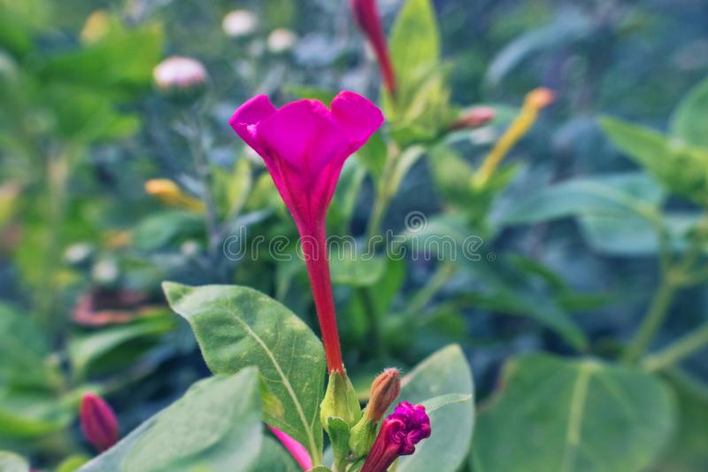 Flowers of tobacco. Virginia weed. Beautiful decorative flowers of gardens and lawns in front of house stock image