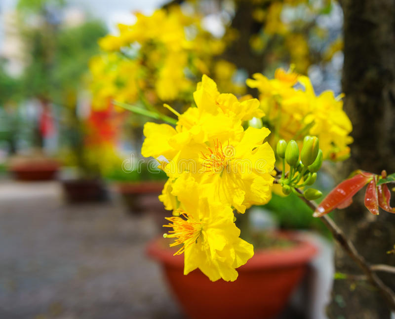 The Flowers Of Traditional Vietnamese New Year Stock Image ...