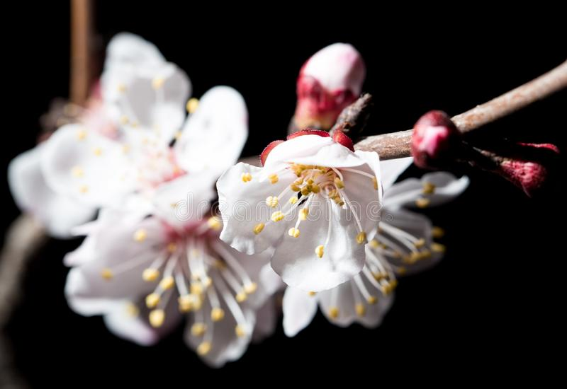 Flowers on the tree in nature on a black background. macro royalty free stock photo