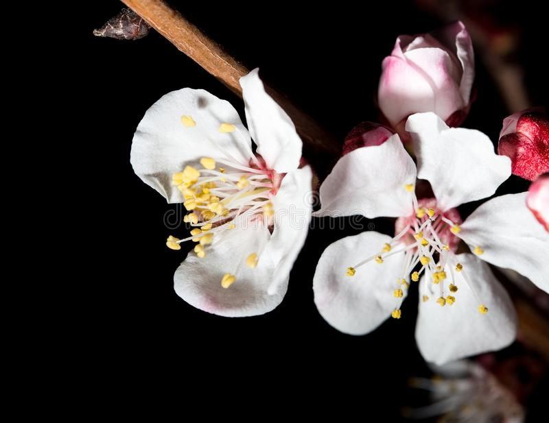 Flowers on the tree in nature on a black background. macro stock images