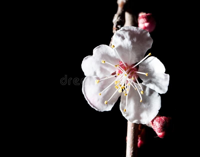 Flowers on the tree in nature on a black background. macro royalty free stock photos