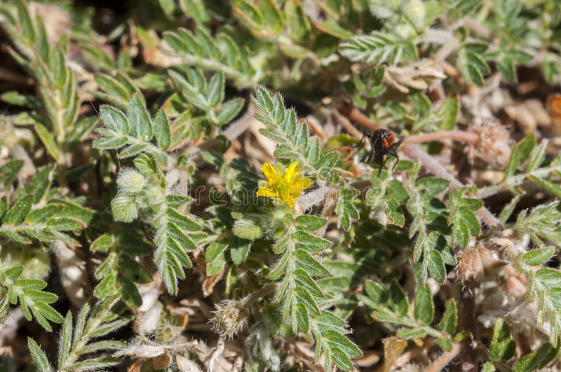 Flowers of Tribulus terrestris. It is native to warm temperate and tropical regions of the Old World, and an invasive species in North America stock photography