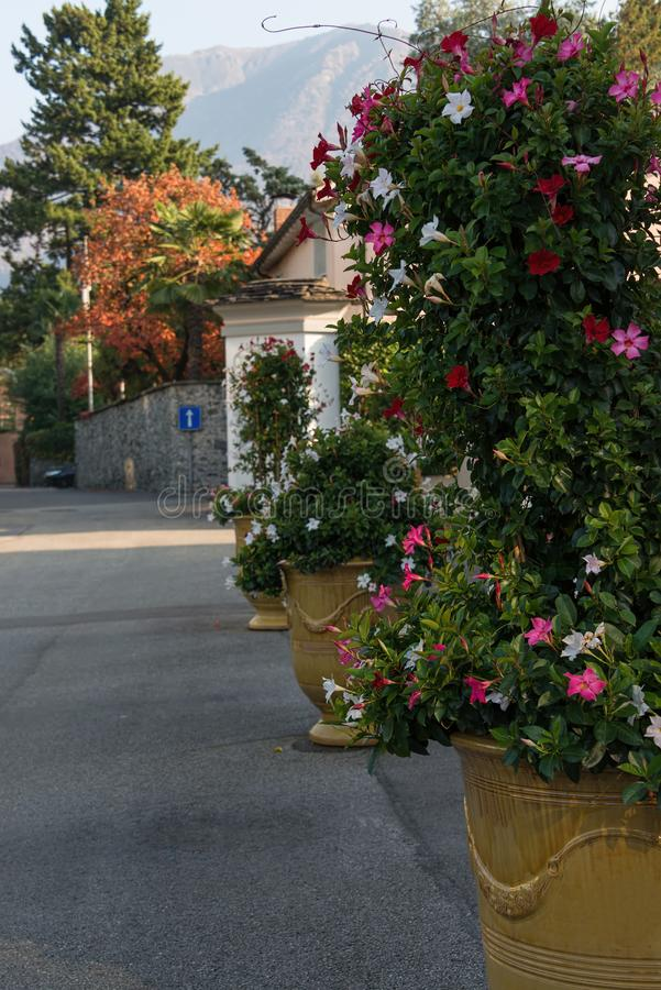 Flowers in the tub on the road in Ascona stock images