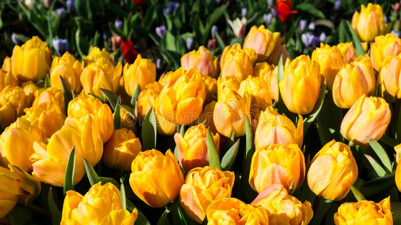 Flowers tulips in dutch park wallpaper background garden royalty free stock images