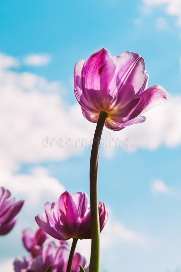 Flowers tulips and the sky. royalty free stock photography