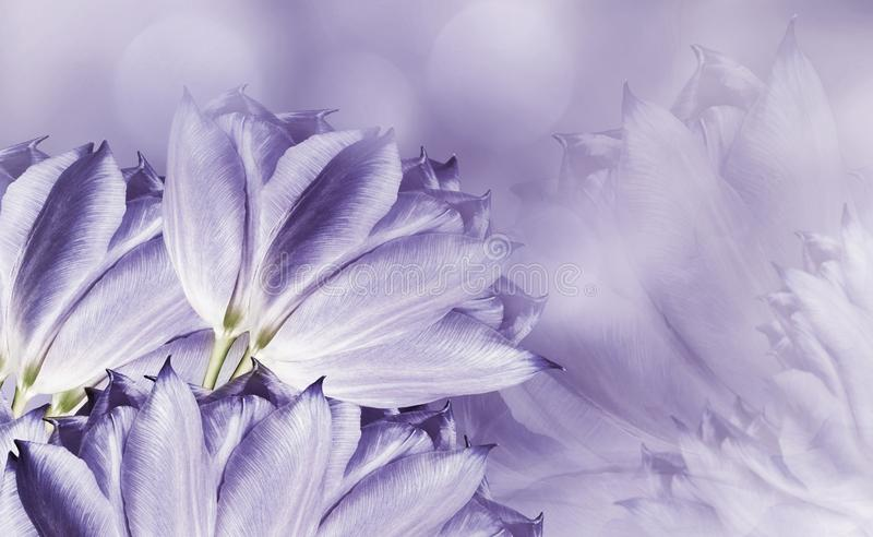 Flowers tulups on background white-violet. Light violet flowers tulups. floral background.  Flower composition. royalty free stock photo