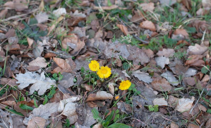 Yellow coltsfoot flowering in early spring on dry leaves. Flowers of tussilago farfara or coltsfoot growing on dry fallen leaves in early spring stock images