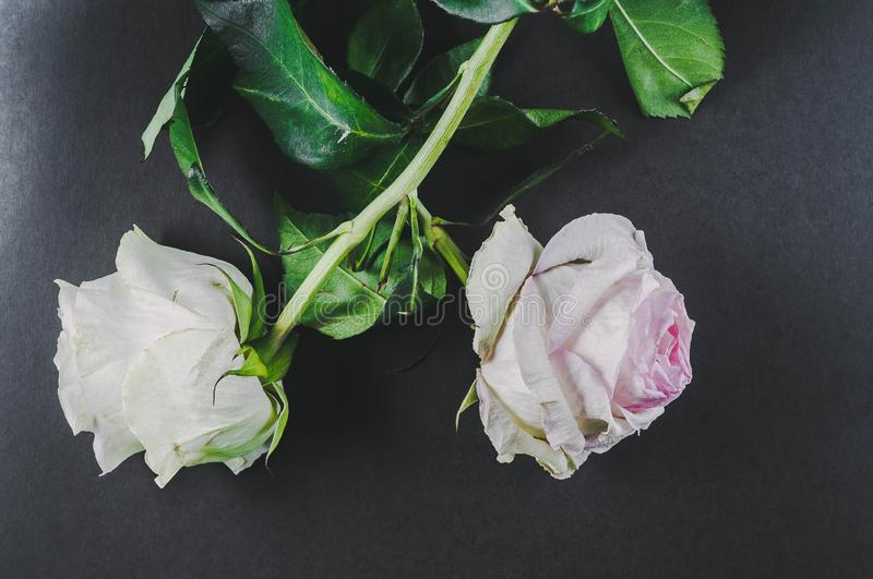 The flowers of two roses, turned away from each other wilted, as an illustration of a quarrel in relations between people . stock images