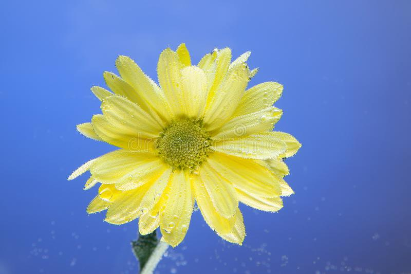 Flowers under the water, yellow chrysanthemum with air bubbles on the lilies on a blue stock image