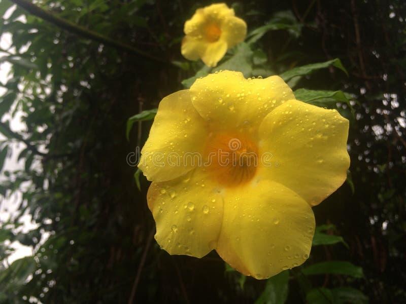 Tropical flowers in bloom, sri lanka royalty free stock photos