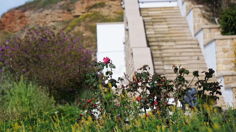 The flowers of the vegetation on the background of the stone stairs in Cyprus royalty free stock photography