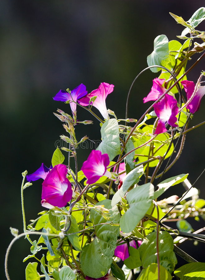 Flowers on a vine. Colorful flowers growing on a vine stock images