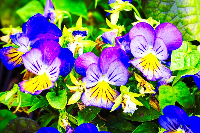 Flowers Viola tricolor Pansy on natural background royalty free stock images