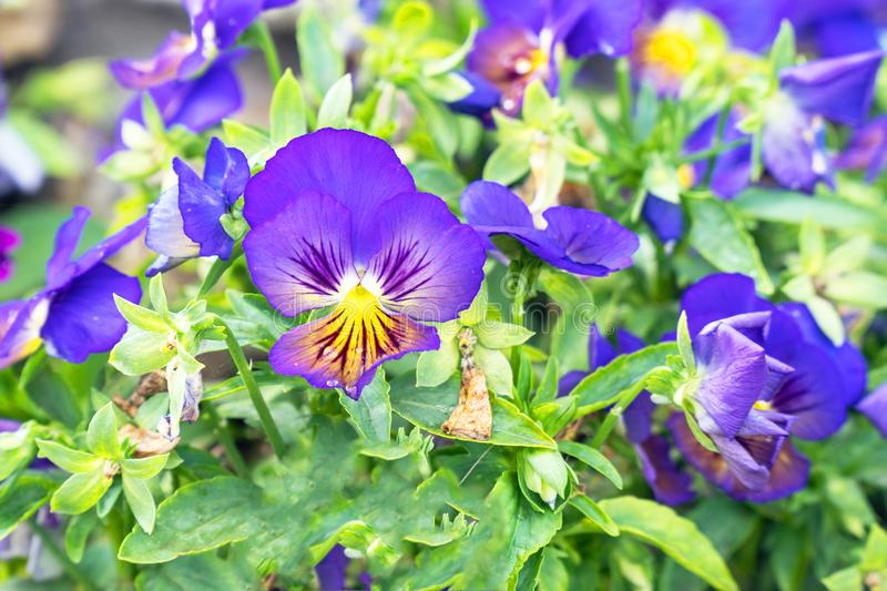 Flowers Viola tricolor Pansy on natural background royalty free stock photography