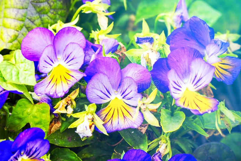 Flowers Viola tricolor Pansy in sunlight royalty free stock photos