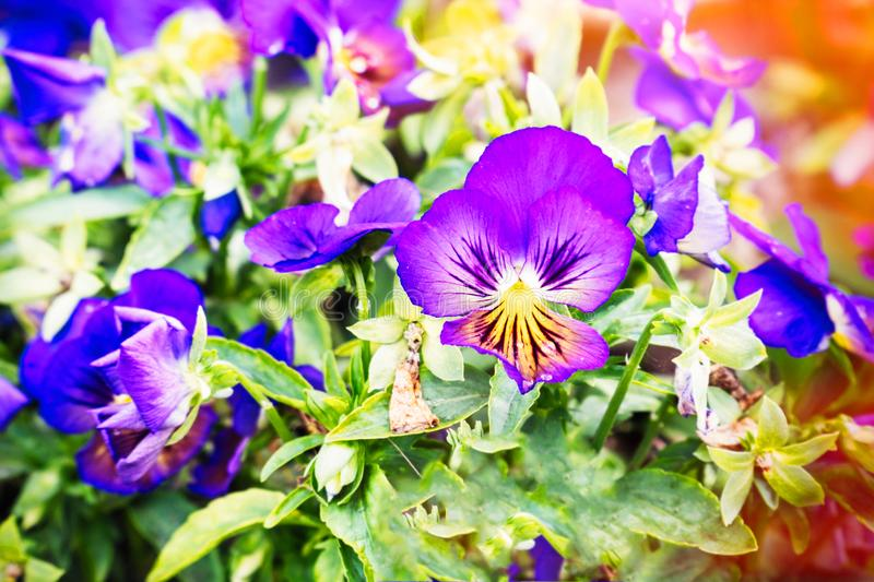 Flowers Viola tricolor Pansy in sunlight stock image