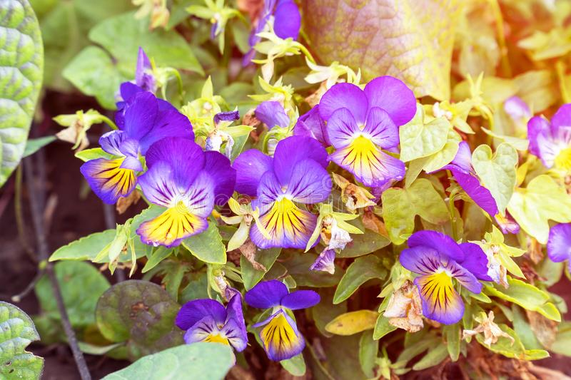 Flowers Viola tricolor Pansy in sunlight royalty free stock image