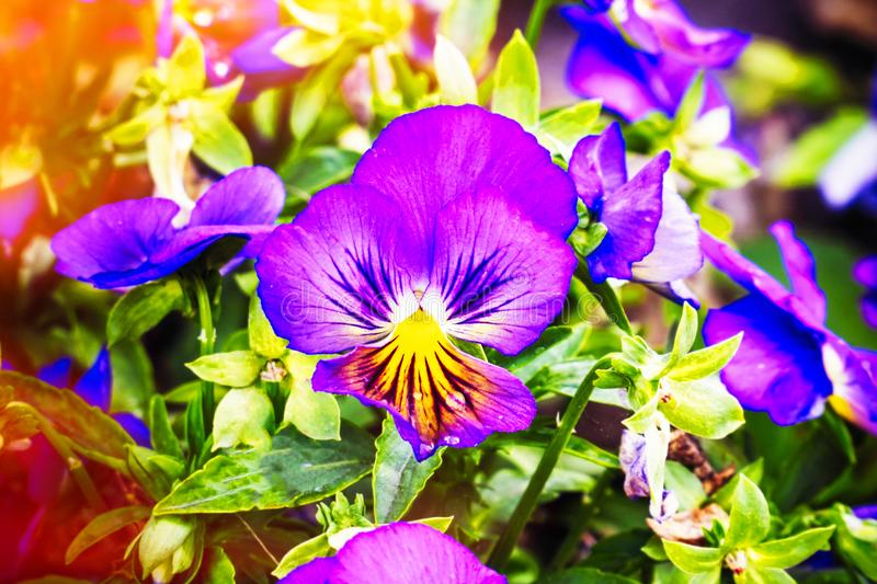 Flowers Viola tricolor Pansy in sunlight royalty free stock photography
