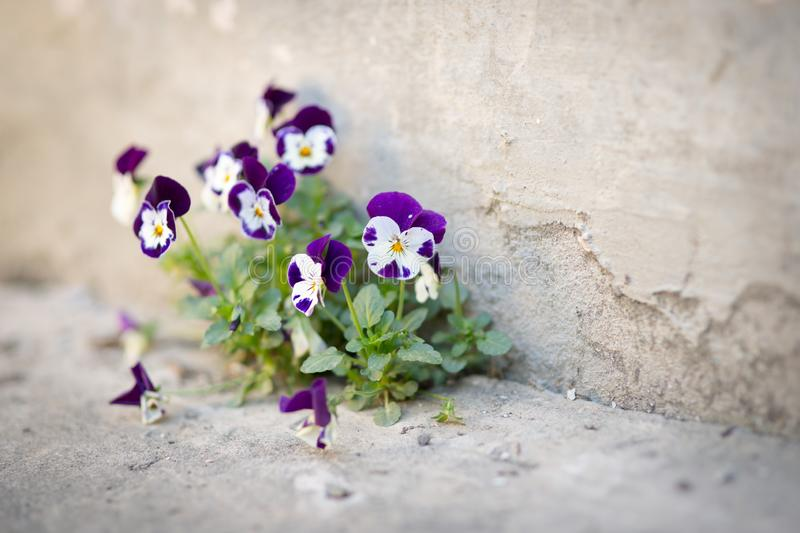 Flowers violas grow in concrete. On the road stock image