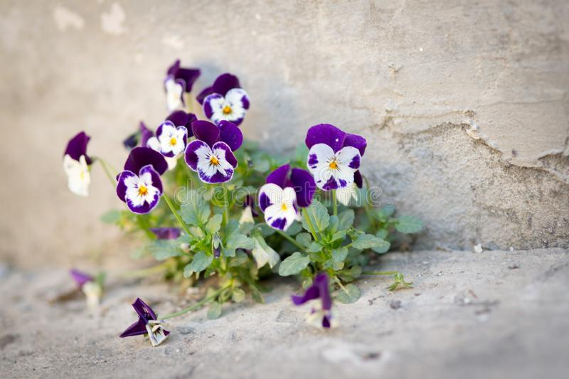 Flowers violas grow in concrete. On the road stock photos